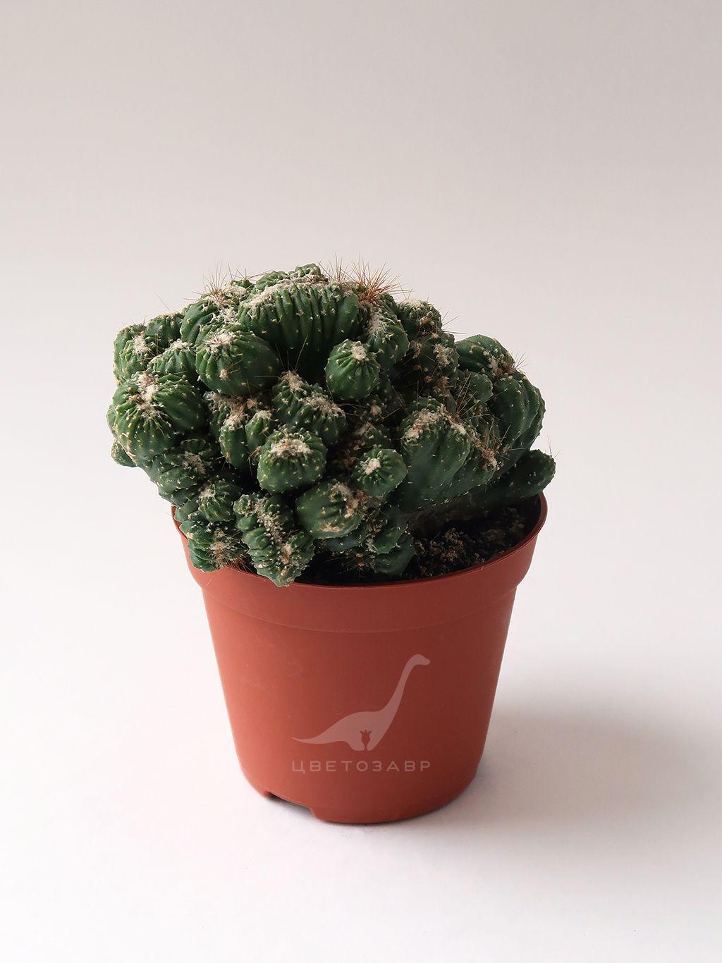 Цереус монстрос кристата (Cereus monstrose cristata)