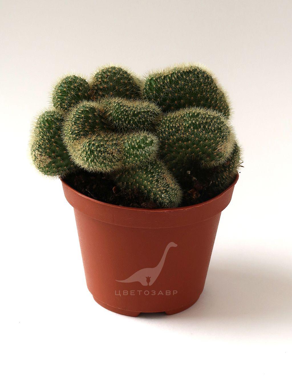 Клейстокактус Винтера (Cleistocactus winteri cristatus; Hildewintera aureispina cristata)