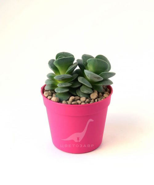 Крассула Морганс бьюти (Crassula Morgan's Beauty)