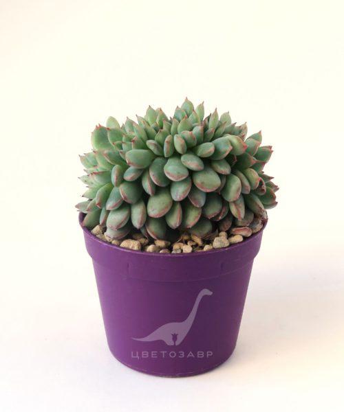 Эхеверия кристатная (Echeveria cristata)