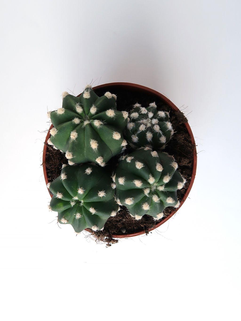 Эхинопсис субденудата (Echinopsis subdenudata)