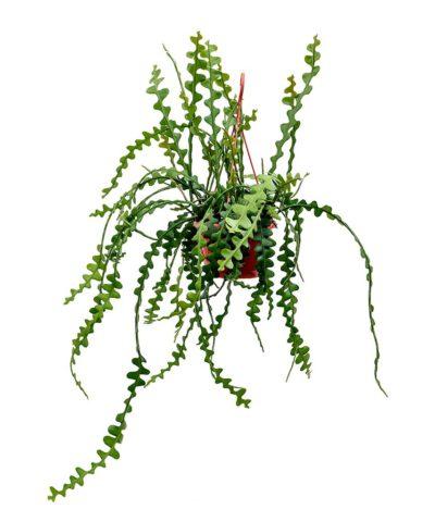 Эпифиллум угловатый (Epiphyllum anguliger - Fishbone Cactus)