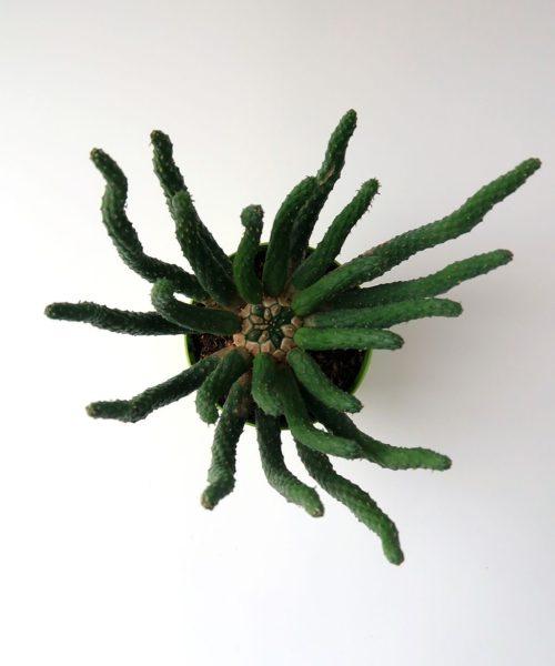 Эуфорбия (молочай) эскулента (Euphorbia esculenta)