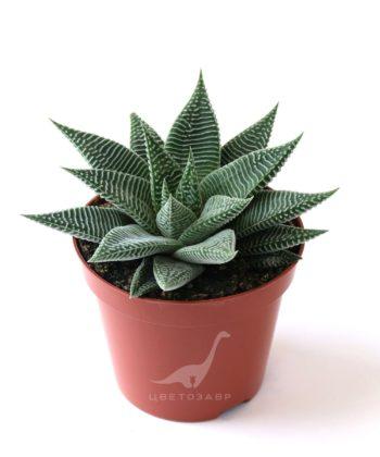 Хавортиопсис (хавортия) лимолистный (Haworthiopsis (Haworthia) limifolia striata)