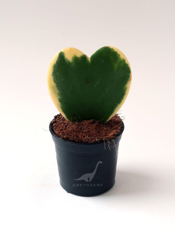 Хойя керри (Hoya kerrii)