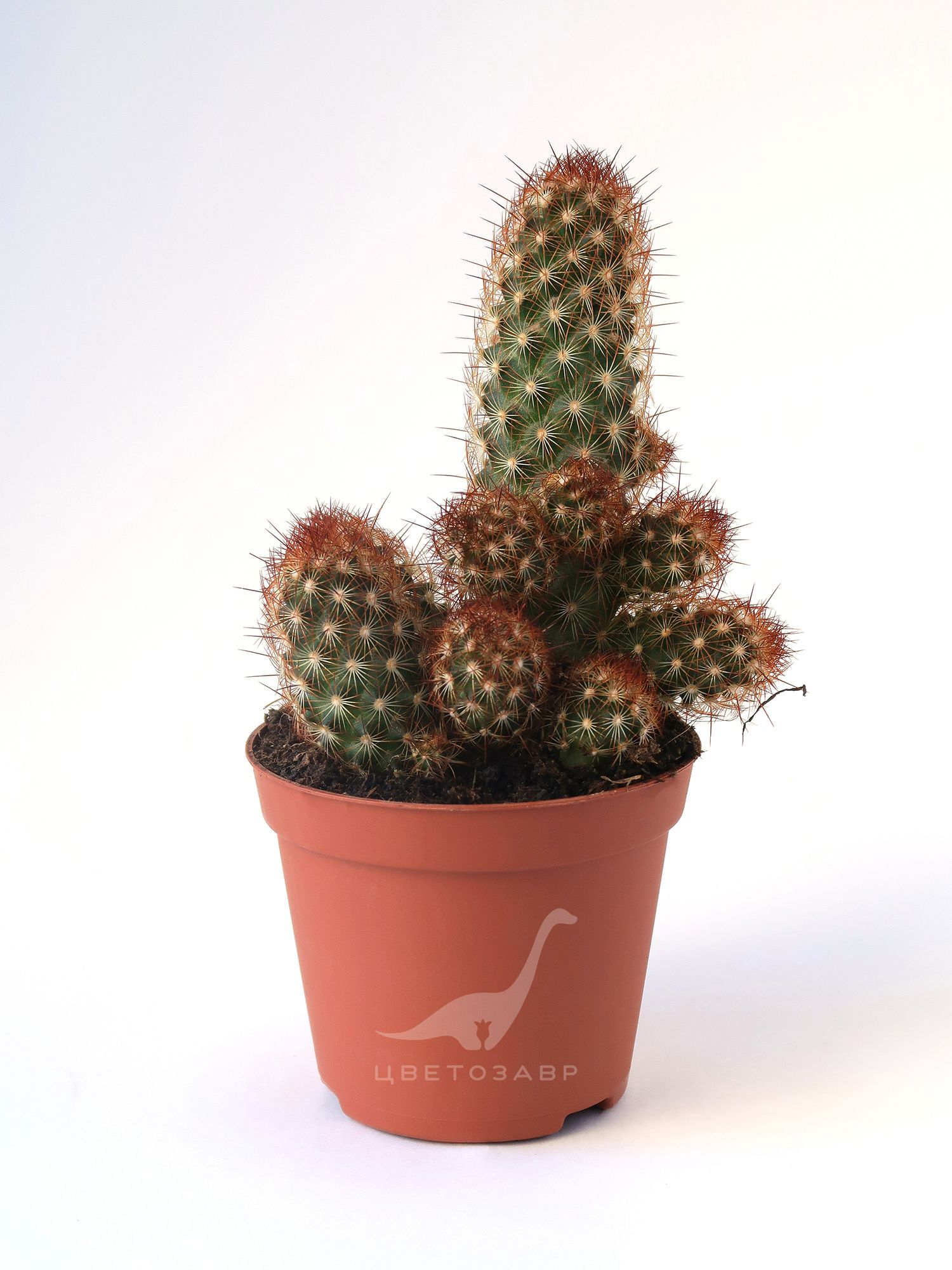 Маммиллярия удлинённая (Mammilaria elongata rood)