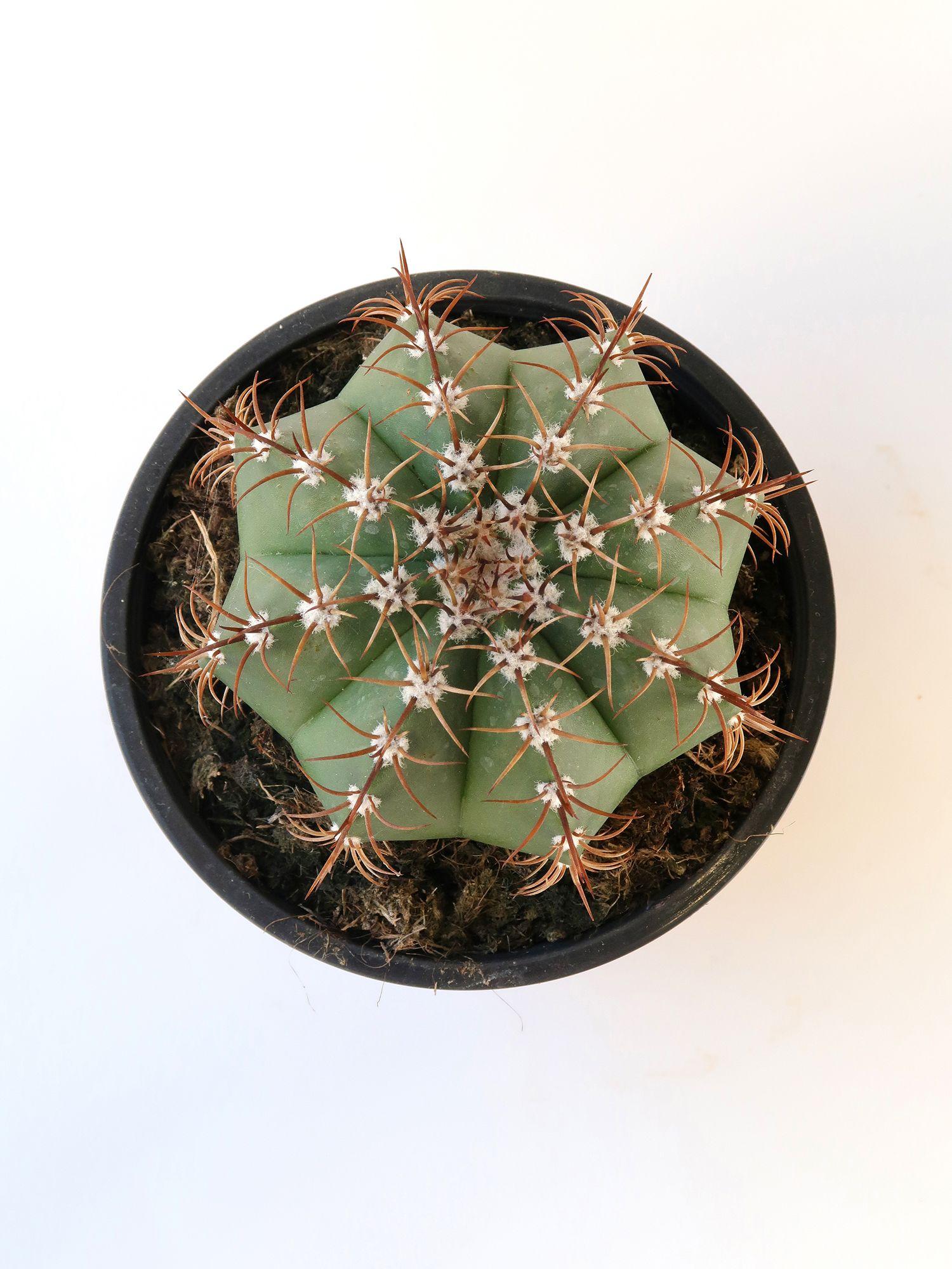 Мелокактус матанзанус (Melocactus matanzanus)