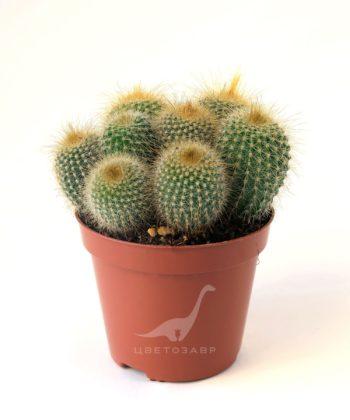 Пародия (Эриокактус) Ленингхауза (Parodia (Eriocactus) leninghausii)