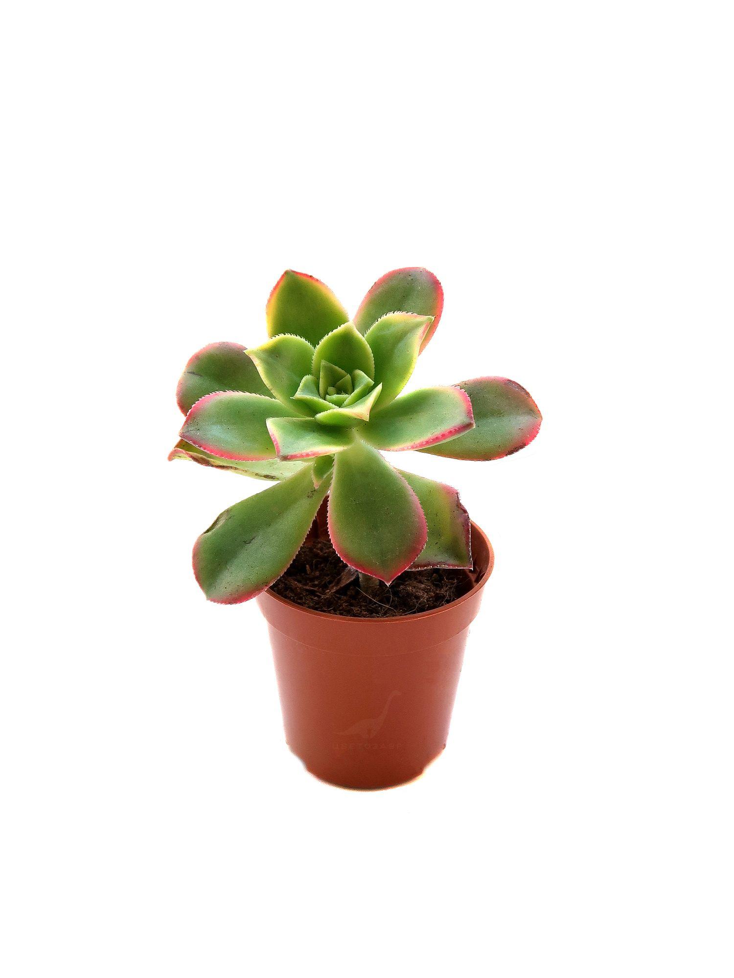 Эониум Киви (Aeonium Kiwi)