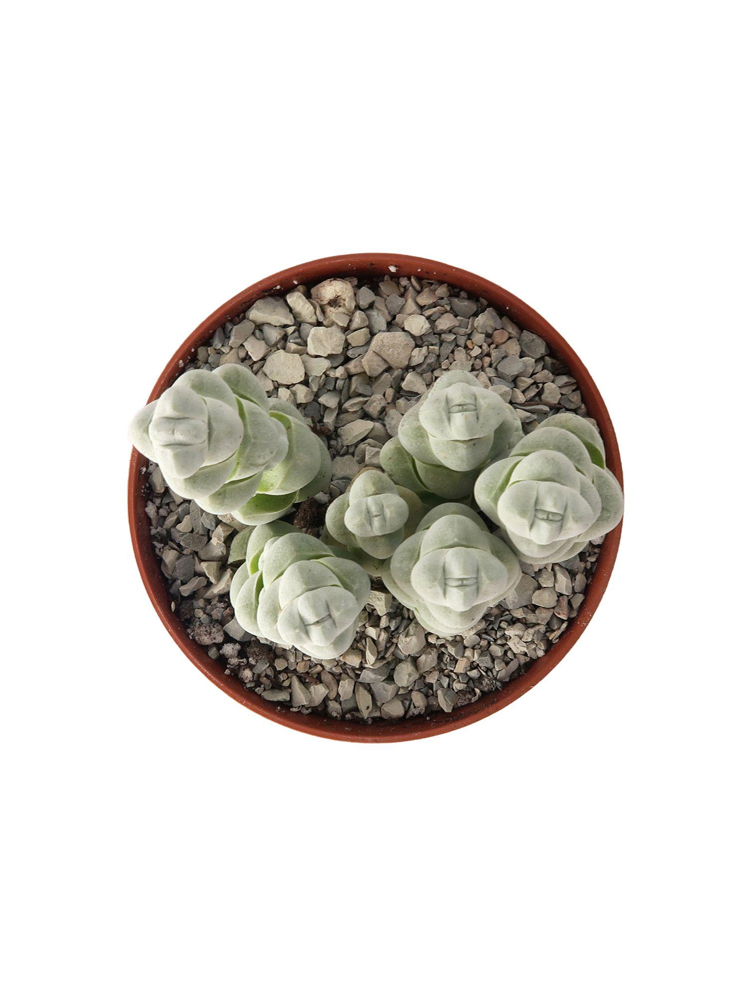 Крассула (толстянка) обманчивая (Crassula deceptor)