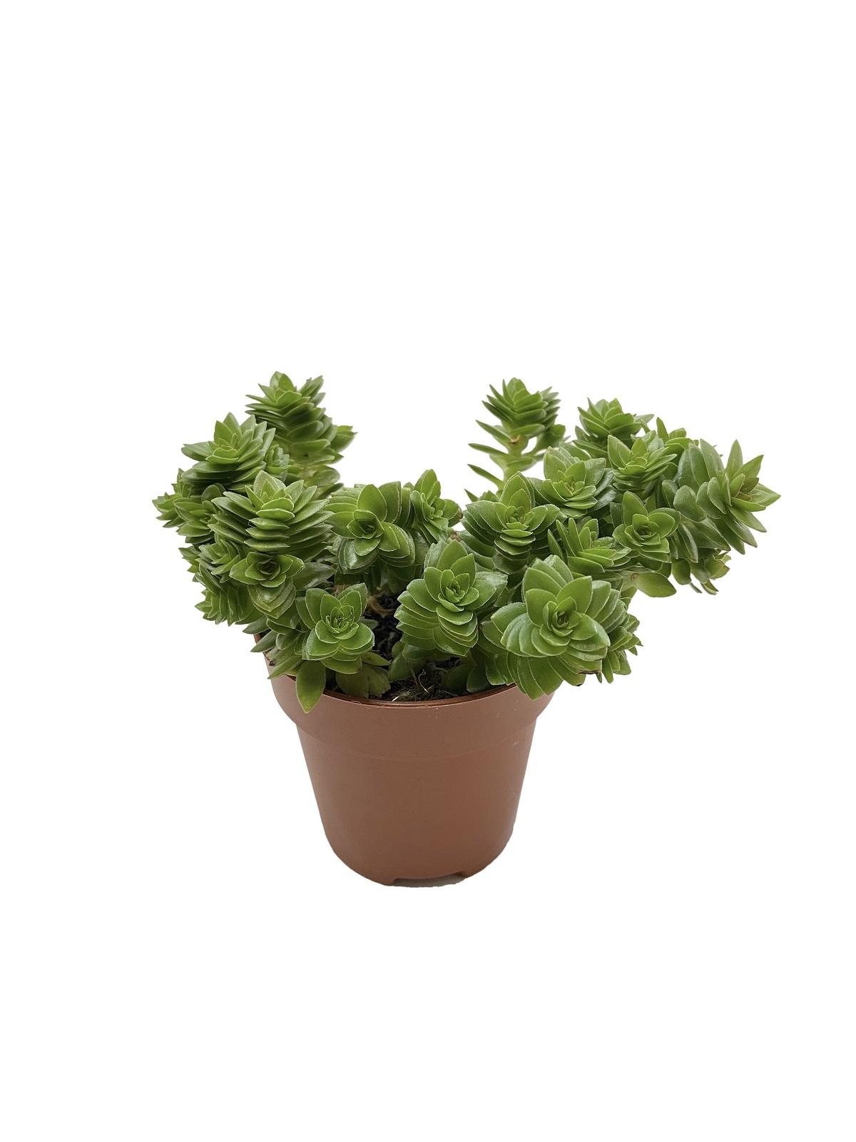 Крассула Эстагнол (Crassula Estagnol)