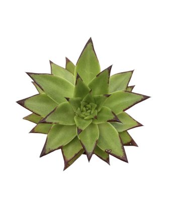 Эхеверия агавовая липстик (Echeveria agavoides Lipstick)