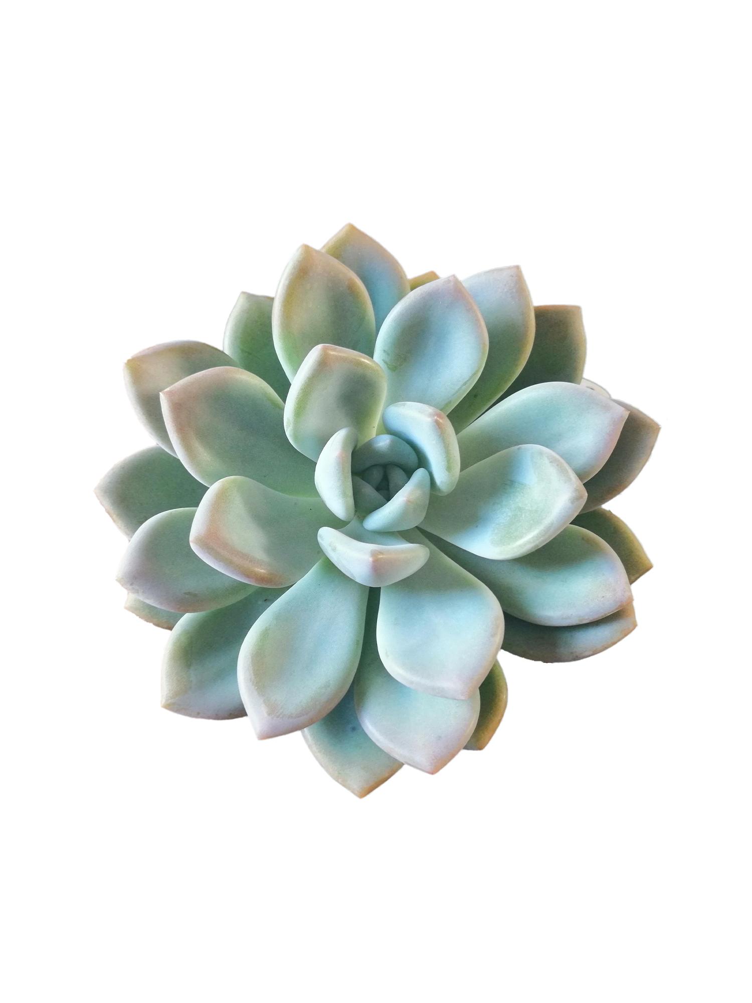 Эхеверия гроссо (Echeveria grosso)