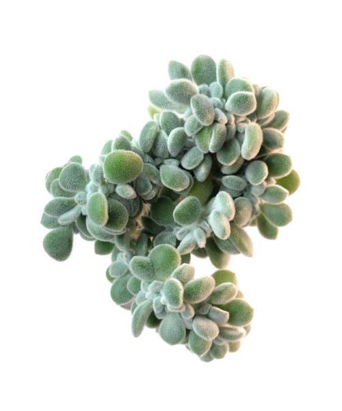 Эхеверия пульвината (подушковидная) Фрости кристата (Echeveria pulvinata Frosty cristata)