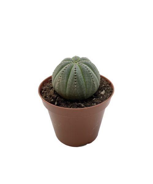 Эуфорбия обеса (молочай тучный) (Euphorbia obesa)