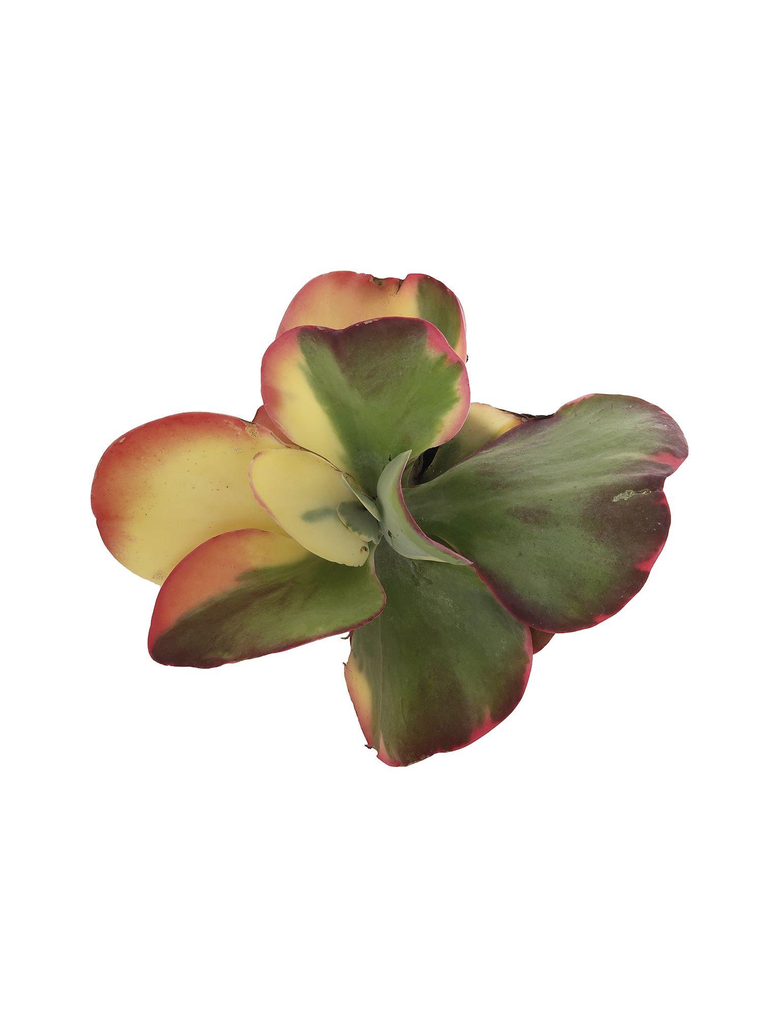 Каланхоэ метельчатоцветковое вариегатное (Kalanchoe thyrsiflora variegata)