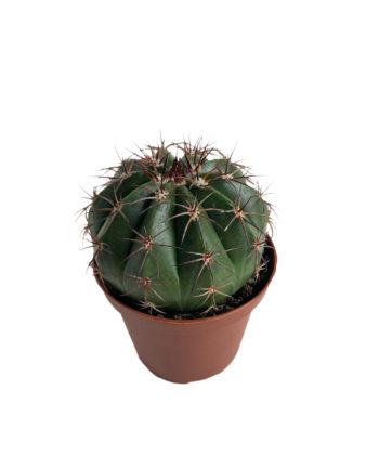 Мелокактус schatzlii (Melocactus schatzlii)