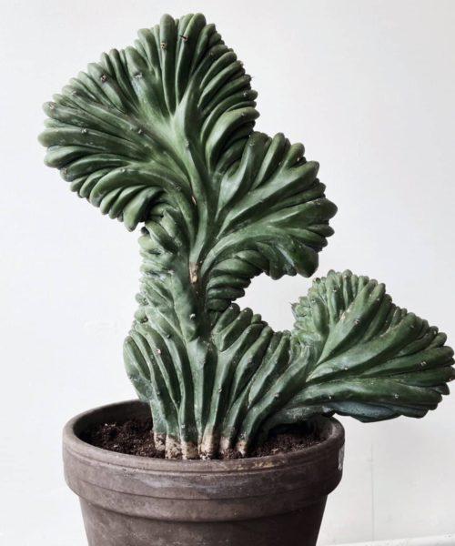 Миртиллокактус геометрический кристатный (Myrtillocactus geometrizans cristata)