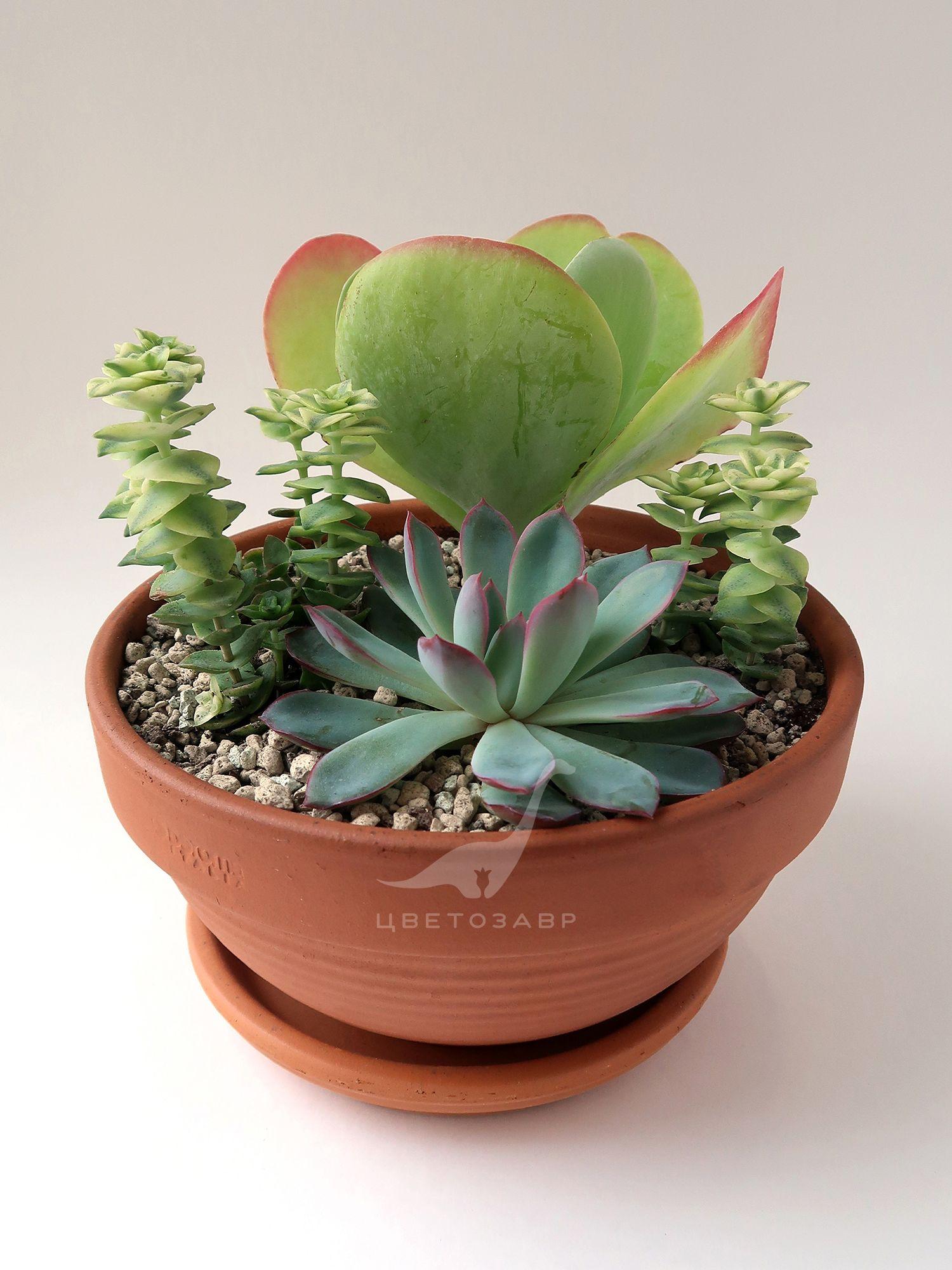 Композиция из суккулентов (succulent arrangement)