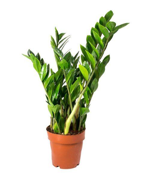 Замиокулькас замиелистный (Zamioculcas zamiifolia)