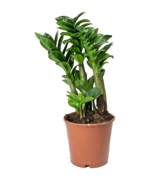 Замиокулькас замиелистный Зензи (Zamioculcas zamiifolia Zenzi)