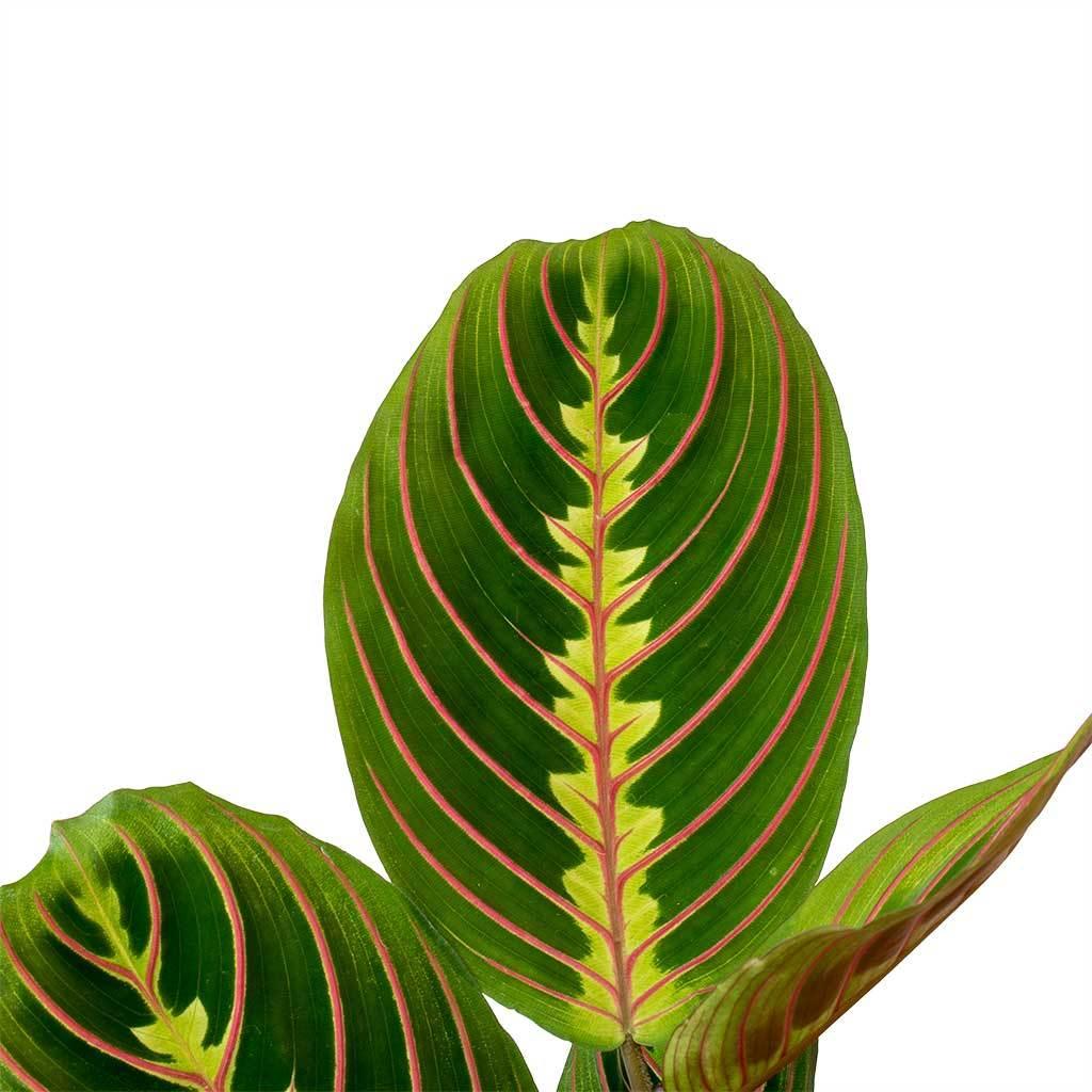 Маранта беложильчатая (Maranta leuconeura)