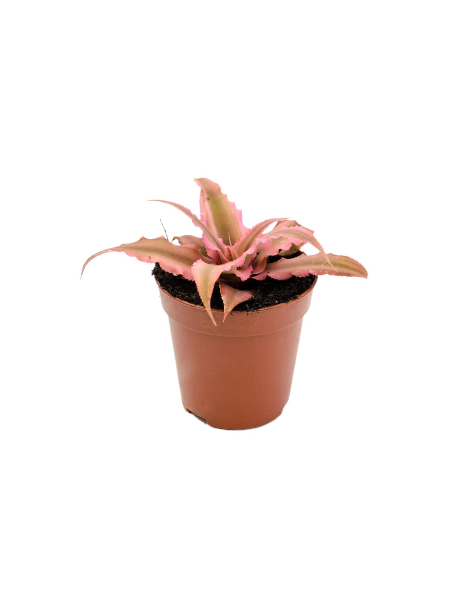 Криптантус рубиновая звезда (Cryptanthus rubin star)