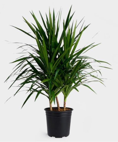 Драцена окаймлённая (Dracaena marginata)