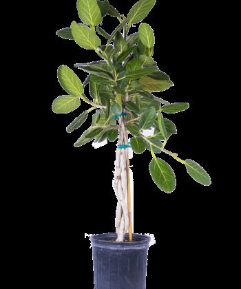Фикус бенгальский Одри (Ficus benghalensis Audrey)