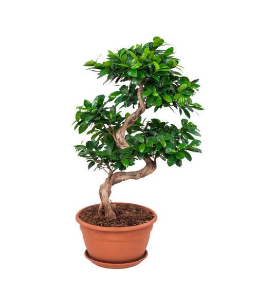 Фикус S-формы (Ficus ginseng S-shape)