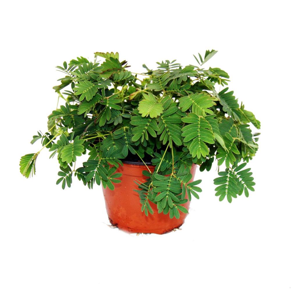 Мимоза стыдливая (Mimosa pudica)